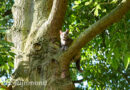 Brandweer Albrandswaard redt kat uit boom | Kribbinge Hoogvliet